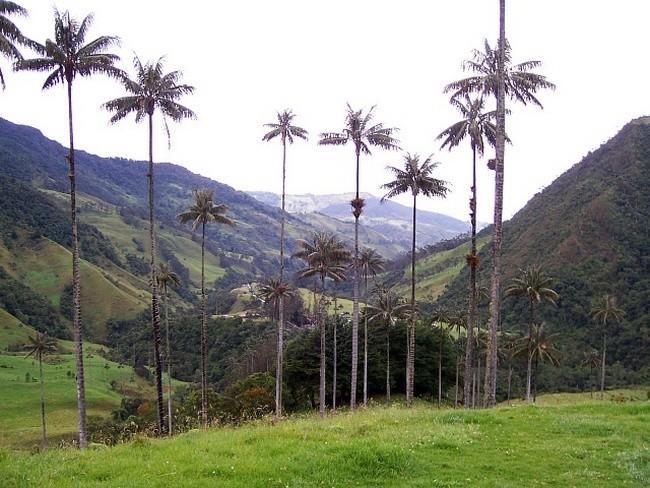 Уникальные пальмы долины Кокора в Колумби