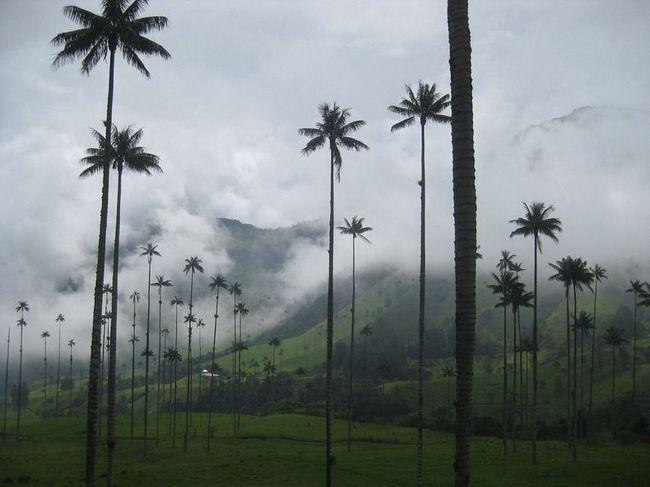 Уникальные пальмы долины Кокора в Колумбии