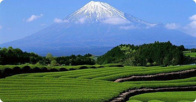 Чайные плантации в Ленкорани