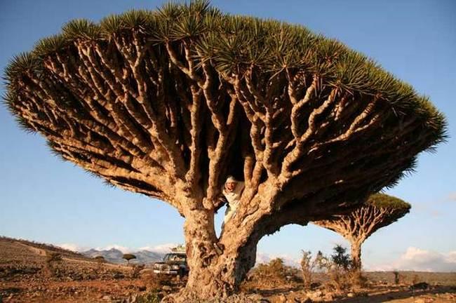 Драконово дерево с острова Тенерифе