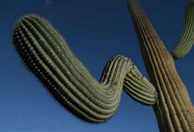 Гигантские кактусы сагуаро в пустыне Сонора
