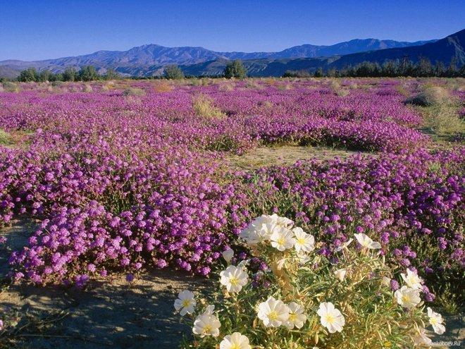 Цветущая пустыня Анза Боррего в