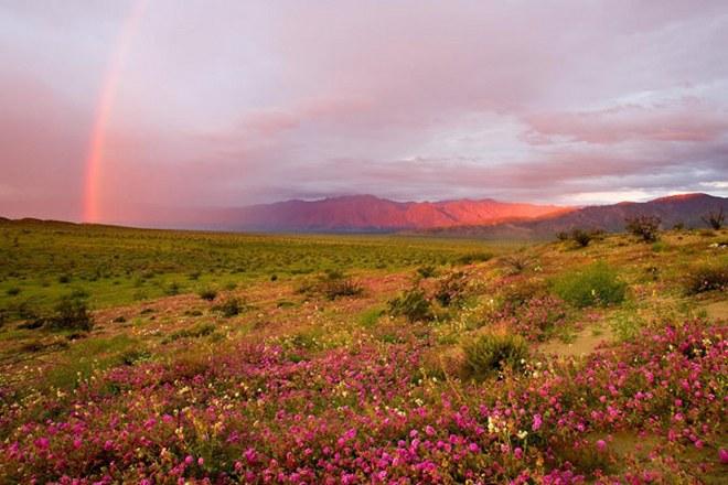 Цветущая пустыня Анза Боррего в США