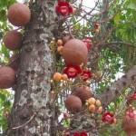 Пушечное дерево — достопримечательность Бразилии