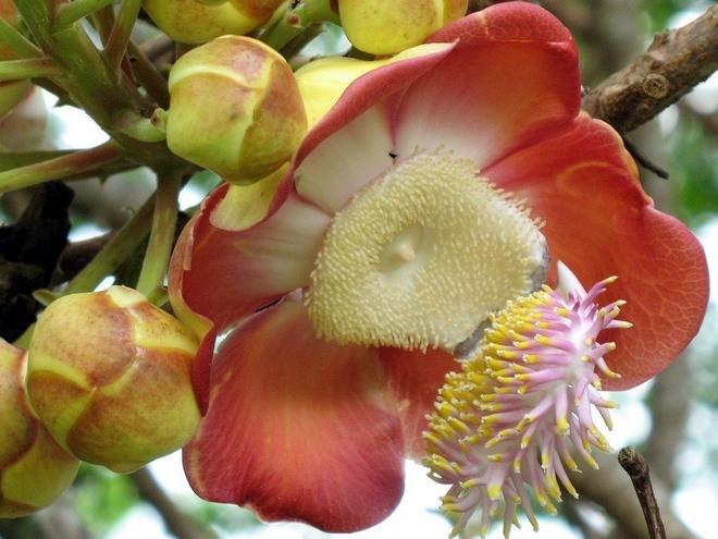 Пушечное дерево - достопримечательность Бразилии