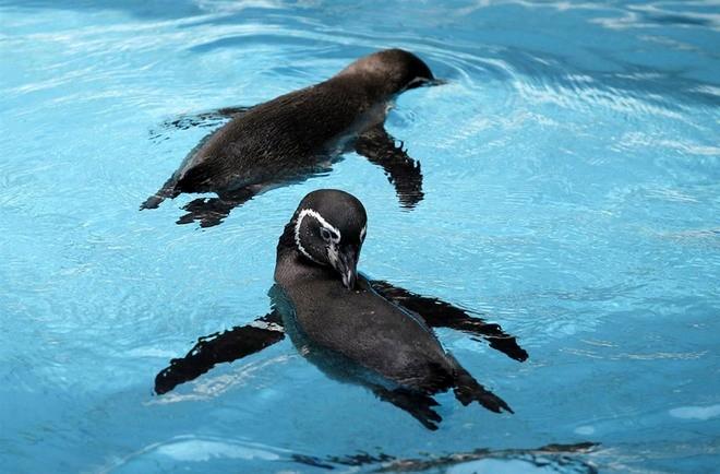 Забавные пингвины в Канзас-Сити