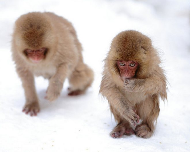 Царство снежных обезьян в Японии