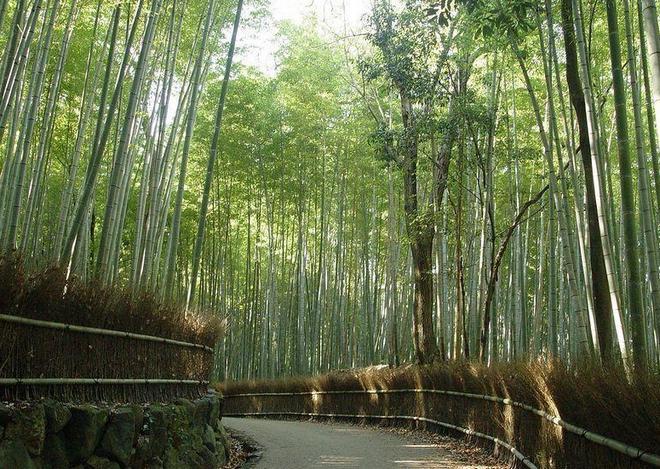 Бамбуковая роща Сагано в Японии