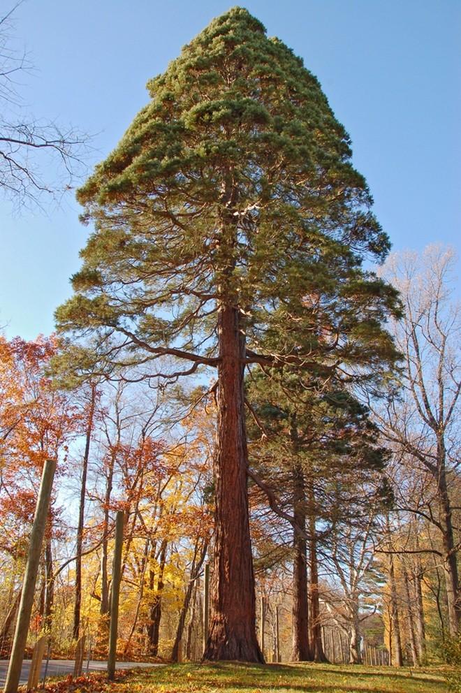 чудеса природы Деревья-гиганты на просторах США