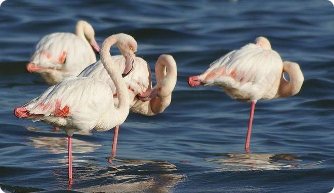 Заповедник фламинго в  Дубаи